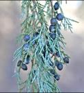 JUNIPERUS SCOPULORUM BLUE (IENUPAR VAR. SCOPULORUM BLUE)