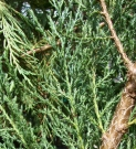 JUNIPERUS SCOPULORUM SKYROCKET (JUNIPERUS SCOPULORUM SKYROCKET)