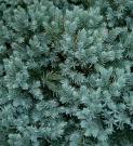 JUNIPERUS SQUAMATA BLUE STAR (JUNIPERUS SQUAMATA BLUE STAR)