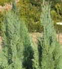 CHAMAECYPARIS LAWSONIANA GLAUCA (CHIPAROS DE CALIFORNIA BRUMARIU)